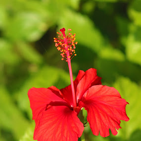 Red by Masud Pathan - Flowers Single Flower