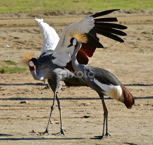West African Crane Mating Dance 2 By Steven Aicinena