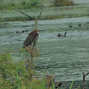 Ruferatous Tiger Heron
