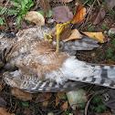 Peregrine Falcon (found dead)