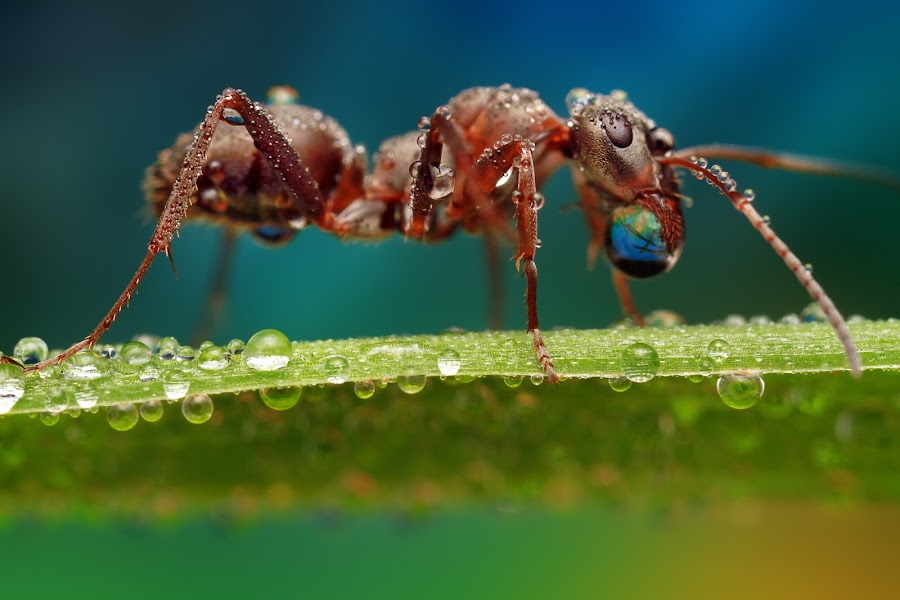 Bubble gum by Ondrej Pakan - Animals Insects & Spiders ( macro, dew, bug, dew drops, ant, insect )
