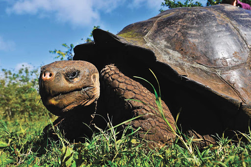 You can see the Galapagos's famed giant tortoises up close on a visit to the breeding and rearing center.