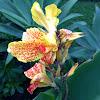 'Yellow King Humbert' canna