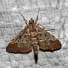 European Pepper Moth