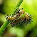 Zebra Longwing Caterpillars