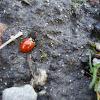 Asian Ladybird