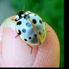 Lady bug / lady bird beetle