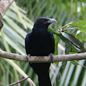 Asian Koel- Male