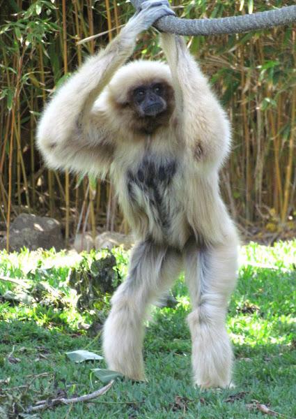 Lar Gibbon Project Noah