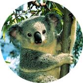 Koala Animated Live Wallpaper