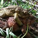 Eastern American Toads