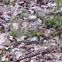 Ribbon Garter Snake