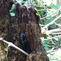 Eyed Click Beetle or Eyed Elater