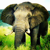 Hunt Elephant Wallpaper LWP
