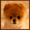 Boo Cute Dog Wallpapers icon
