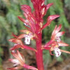 North American Coralroot Orchid