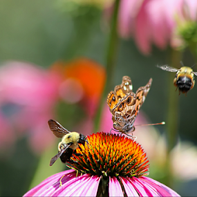 Three's a Crowd by Darlene Lankford Honeycutt - Flowers Flowers in the Wild ( pink and orange, butterfly, wild, cone flowers, dl honeycutt, bumble bees, flowers )