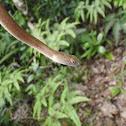 茶斑蛇(Mock viper)