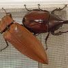 Rhinoceros Beetle and Giant Click Beetle(s)