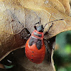 Firebugs (larvae)