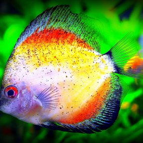 by Dino Rimantho - Animals Fish ( fish, animal, , #GARYFONGPETS, #SHOWUSYOURPETS )