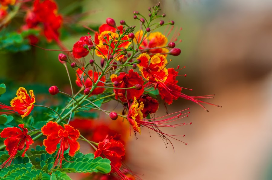 Red Flower by Johan Jooste Snr - Flowers Flower Buds ( scrub, red, yellow, buds, flower, namibia )