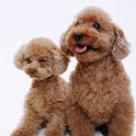 Dogs: Toy Poodle logo