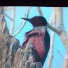 Lewis's Woodpecker