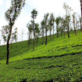 Tea Estate by Karthic Kumar - Landscapes Mountains & Hills