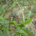 Cotton Stainer Bugs