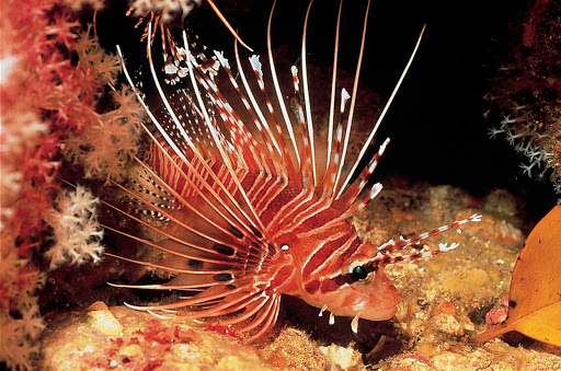 A lionfish is spotted while scuba diving in Thailand. They're gorgeous — but a menace to local sealife.