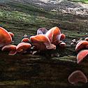 Jew's Ear Mushroom