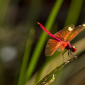 red hot dragon fly... by Kiran Ark - Animals Insects & Spiders ( dreamy, sweet, pattern, dragonfly, insect )