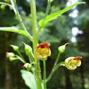 Figwort, Knoten-Braunwurz