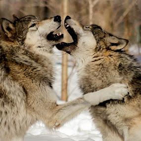 Wolf fight by Desiree DeLeeuw - Animals Other Mammals ( mammals, winter, wolf, wildlife, wolves, new jersey,  )
