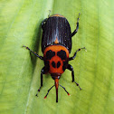 Asian Palm Weevil