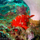 Painted frogfish (red phase)