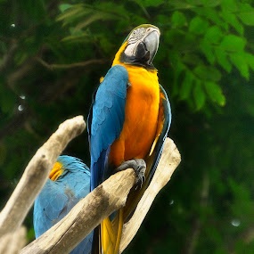 Parrots by Azwan Abdul Aziz - Animals Birds