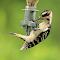 Hairy Woodpecker(Juvenile)_7506_Enhanced.jpg