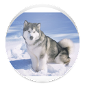 Husky - Animal Wallpapers icon