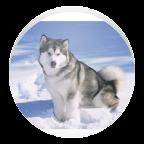 Husky - Animal Wallpapers