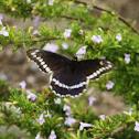Papilonio Negro / Polydamas Swallowtail