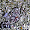 Smooth-handed ghost crab