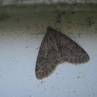 Mottled Gray Carpet Moth