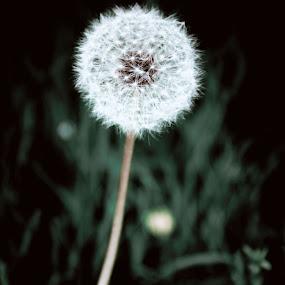 by Dennis Scanlon - Flowers Single Flower