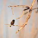 Pied Bushchat (female)