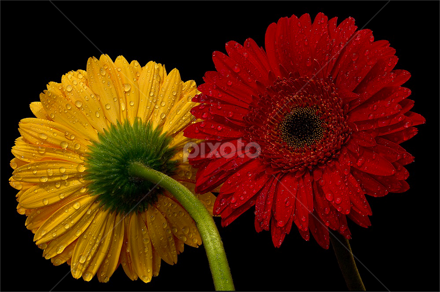 by Rudi Kleynhans - Flowers Flower Arangements