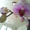 Sweet Melody Sato Moth Orchid