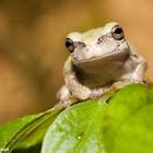 North American Tree Frog