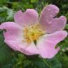 Native Irish Dog Rose